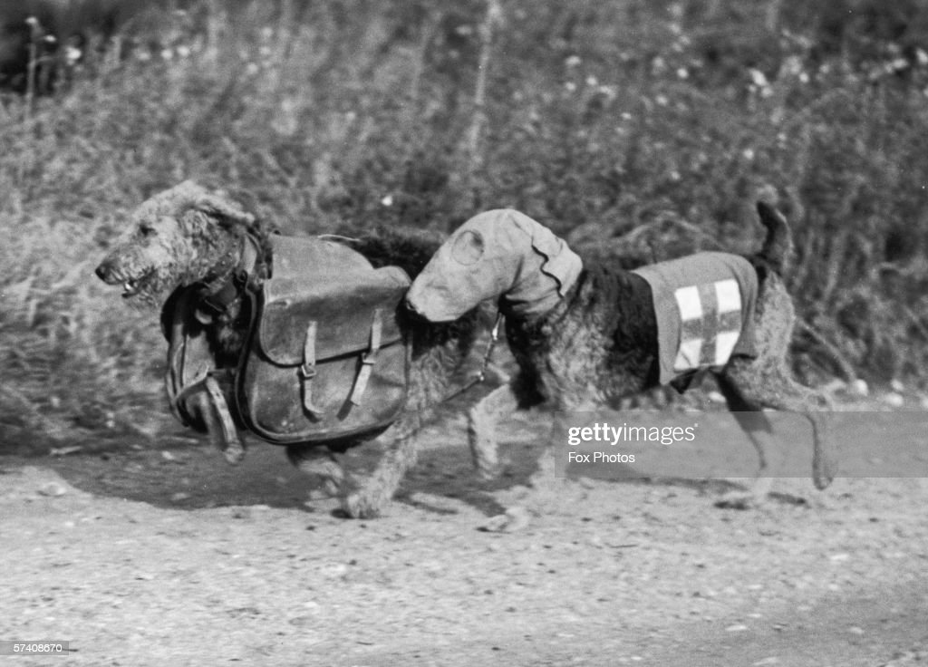 Two Airedale terriers at Lt. Colonel E. H. Richardson's canine training camp in Woking, Surrey, during World War II, 16th October 1939. One dog wears a special gas mask and the other carries rations for a wounded soldier.
