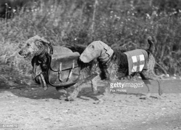 Two Airedale terriers at Lt Colonel E H Richardson's canine training camp in Woking Surrey during World War II 16th October 1939 One dog wears a...