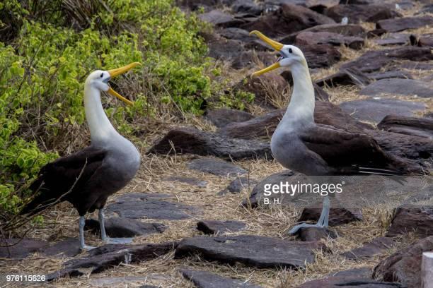 Two albatrosses with opened beaks, Galapagos Islands, Ecuador