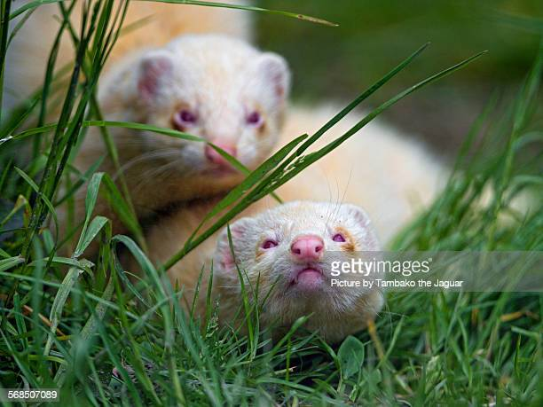 Two albino ferrets in the grass