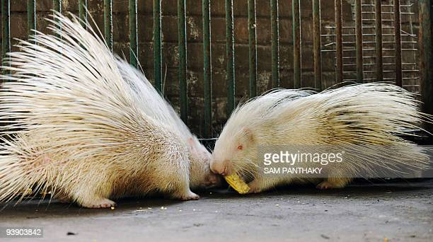 Two albino porcupines compete for a corn cob in their enclosure at the Kamla Nehru Zoological Garden in Ahmedabad on December 4 2009 The zoo houses...