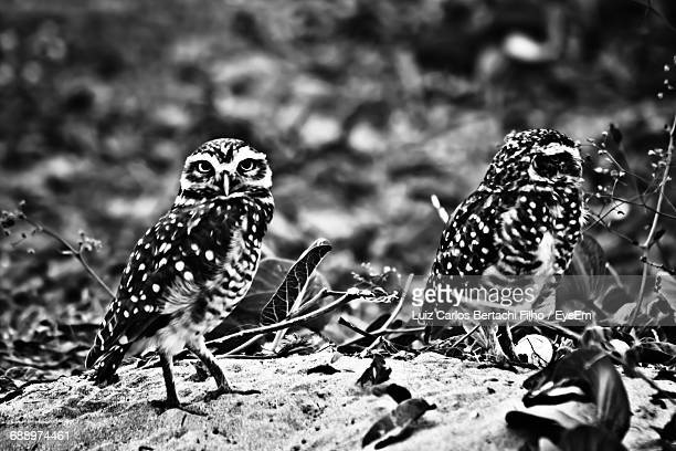 two alert owls - filho stock pictures, royalty-free photos & images