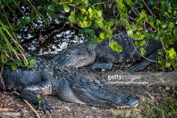 two alligators resting in a mangrove by the marsh along the anhinga trail, everglades national park, florida - anhinga_trail foto e immagini stock