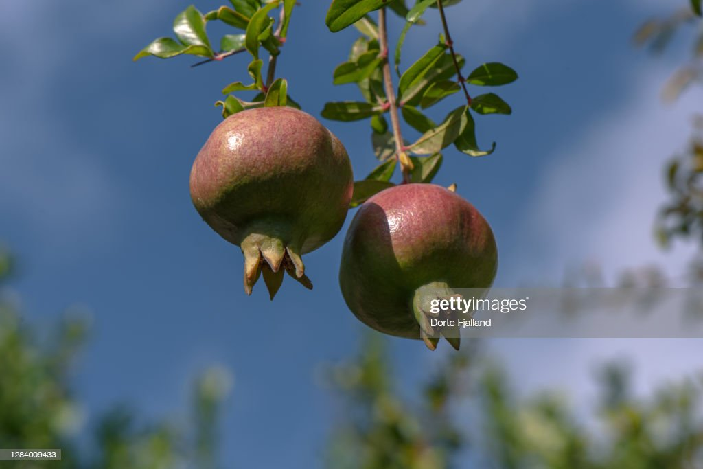 Two almost ripe pomegranates on a branch against a blue sky : Foto de stock