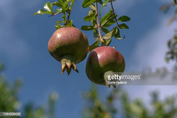 two almost ripe pomegranates on a branch against a blue sky - dorte fjalland fotografías e imágenes de stock