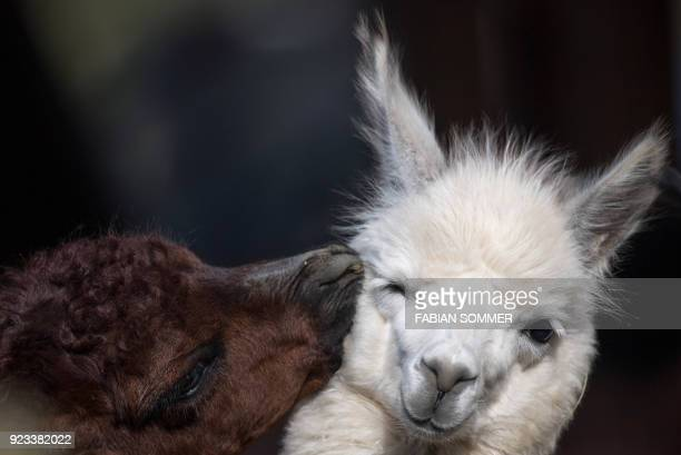 TOPSHOT Two alpacas are pictured at the zoo in Frankfurt am Main western Germany on February 23 2018 / AFP PHOTO / dpa / Fabian Sommer / Germany OUT