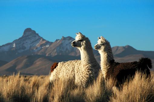 Two Alpacas 90092639