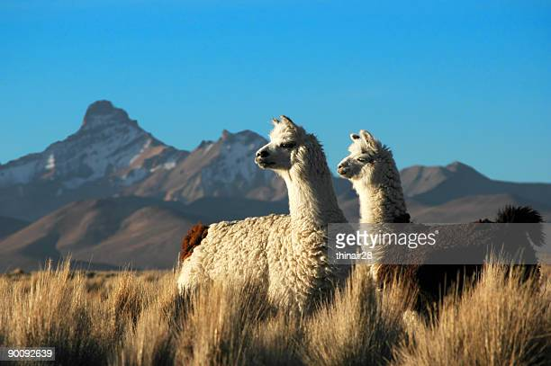 two alpacas - lama stock pictures, royalty-free photos & images