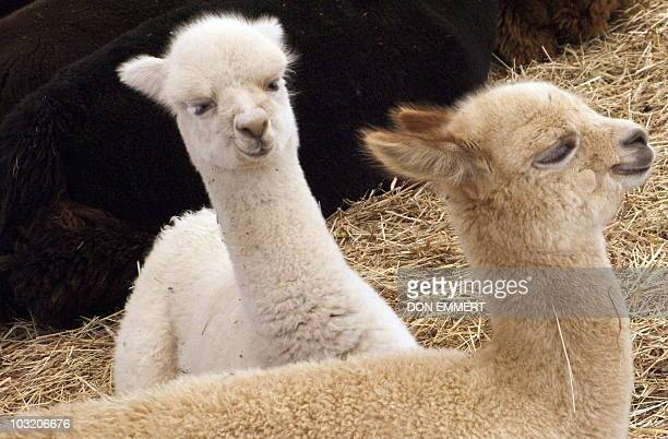 Two alpacas rest in the straw at Island Alpaca Farm on August 1 2010 in Vineyard Haven MA US President Barack Obama plans to vacation on Martha's...