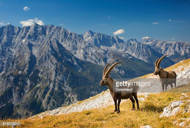 Two Alpine Ibex in front of Mount Watzmann , Alps