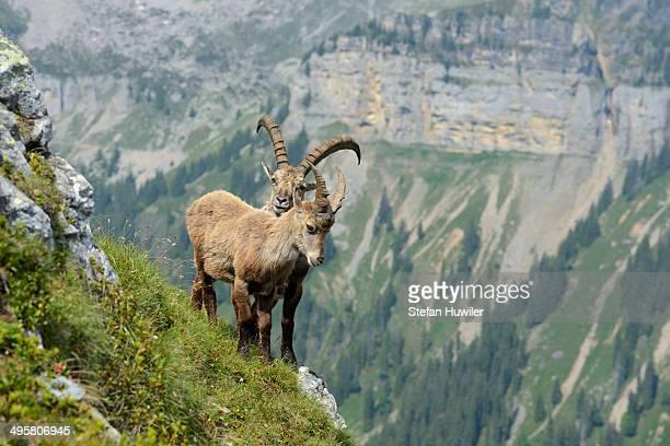 Two Alpine Ibexes -Capra ibex- in steep terrain, Bernese Oberland, Canton of Bern, Switzerland