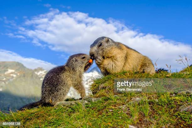 HEILIGENBLUT CARINTHIA AUSTRIA Two Alpine marmots are eating a carrot on a rock the mountain Grossglockner in the distance at KaiserFranzJosefsHöhe
