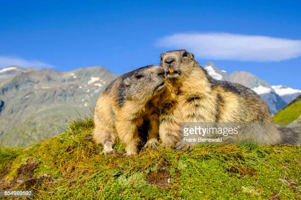 HEILIGENBLUT CARINTHIA AUSTRIA Two Alpine marmots are sitting on a mountain slope the mountain Grossglockner in the distance at KaiserFranzJosefsHöhe