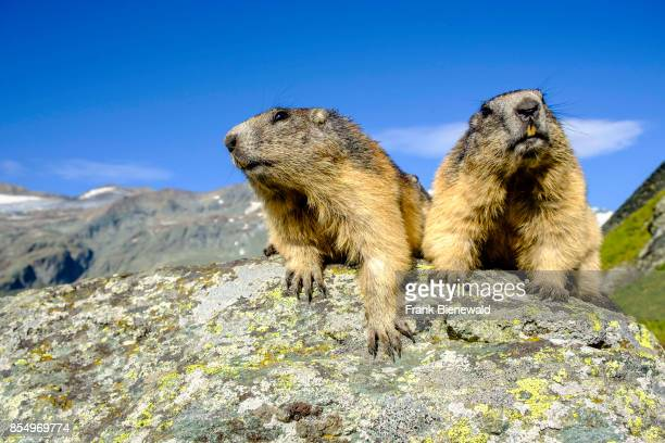 HEILIGENBLUT CARINTHIA AUSTRIA Two Alpine marmots are sitting on a rock the mountain Grossglockner in the distance at KaiserFranzJosefsHöhe
