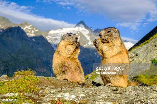 HEILIGENBLUT CARINTHIA AUSTRIA Two Alpine marmots are standing and eating a carrot on a rock the mountain Grossglockner in the distance at...