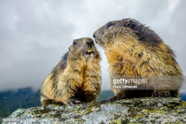 HEILIGENBLUT CARINTHIA AUSTRIA Two Alpine marmots are standing on a rock at KaiserFranzJosefsHöhe