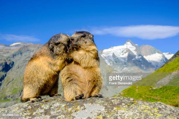 HEILIGENBLUT CARINTHIA AUSTRIA Two Alpine marmots are standing on a rock the mountain Grossglockner in the distance at KaiserFranzJosefsHöhe