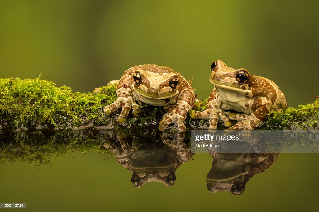 Two Amazon milk frogs : Stock Photo