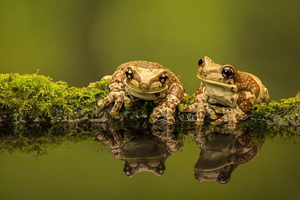 Two Amazon Milk Frogs Wall Art