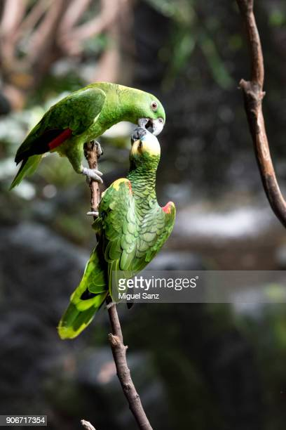 Two Amazon Parrots playing on the branch
