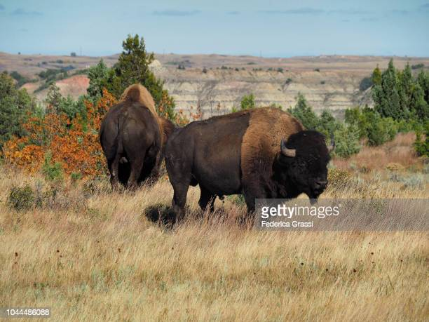 Two American Bisons Grazing on The Prairie of North Dakota