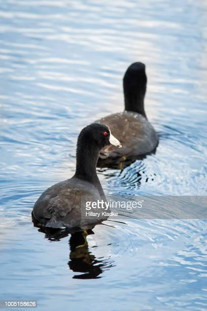 Two American Coots swimming