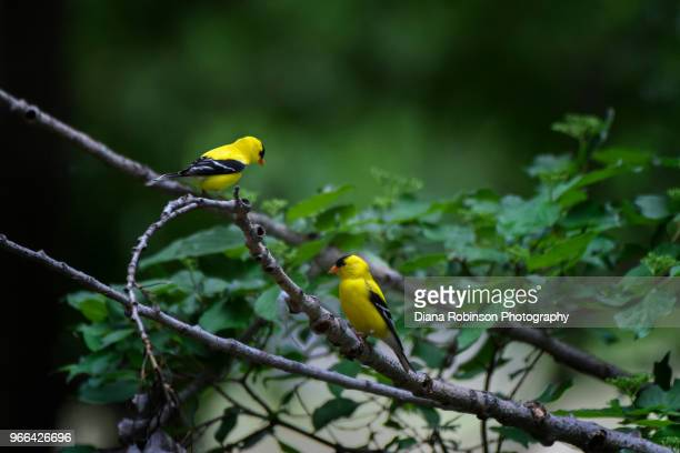two american goldfinches near wood river, nebraska - american goldfinch stock pictures, royalty-free photos & images