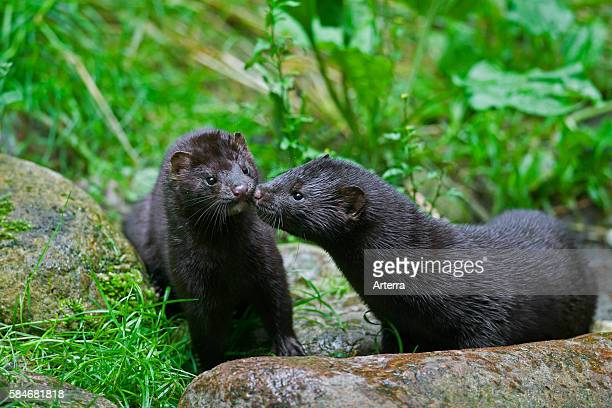 Two American minks mustelid native to North America meeting on river bank
