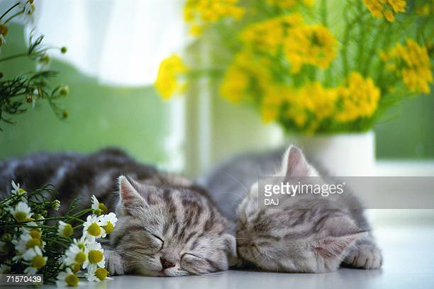 Two American Shorthair Cats Sleeping on a White Floor, Surrounded By Flowers, Front View, Differential Focus