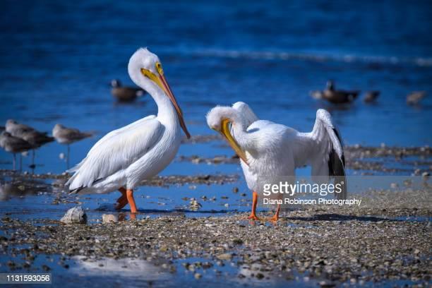 Two American White Pelican at J.N. 'Ding' Darling National Wildlife Refuge, Sanibel Island, Florida