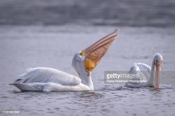 Two American White pelicans fishing at low tide at J.N. 'Ding' Darling National Wildlife Refuge, Sanibel Island, Florida