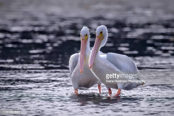 Two American White pelicans posing for photographs at J.N. 'Ding' Darling National Wildlife Refuge, Sanibel Island, Florida