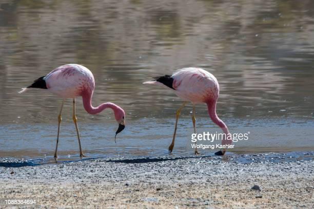 Two Andean flamingos feeding in Laguna Machuca in the Atacama Desert near San Pedro de Atacama, northern Chile.