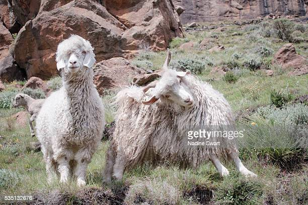 Two Angora goats in the mountains of Lesotho