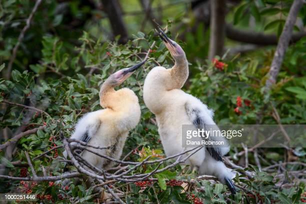Two Anhinga chicks at Venice Audubon Rookery, Venice, Florida