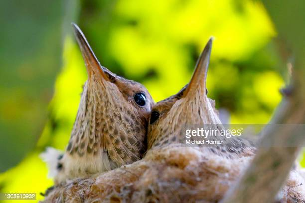 Two Anna's hummingbird chicks are seen in their nest on March 212, 2021 in Huntington Beach, California.
