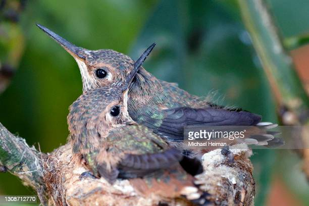 Two Anna's hummingbird chicks are seen in their nest on March 23, 2021 in Huntington Beach, California.