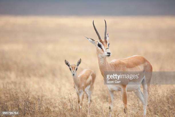 Two antelope standing in the savannah.