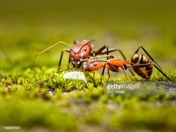Two ants drinking from drop of water