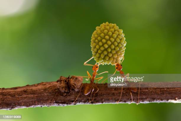 two ants on a branch lifting a heavy plant, indonesia - two animals stock pictures, royalty-free photos & images