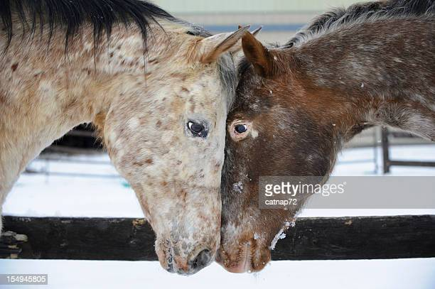 Two Appaloosa Horses Looking at Each Other Touching Heads