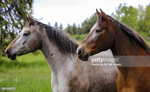 two appaloosa horses - appaloosa stock pictures, royalty-free photos & images