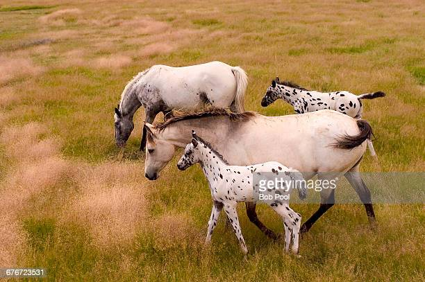Two Appaloosa mares with their foals