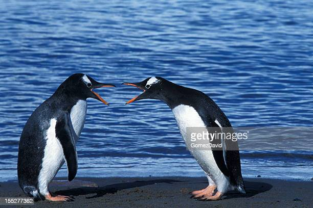 Two Arguing Wild Gentoo Penguins