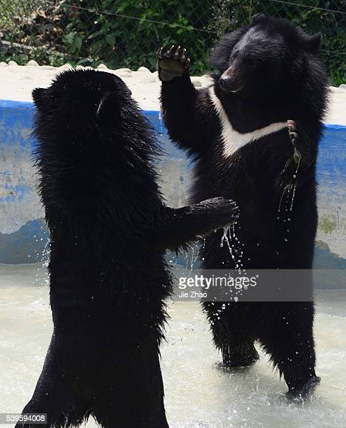 Two Asian black bears play in a pond at a zoo in Chengdu Sichuan province southwest China 29th April 2015