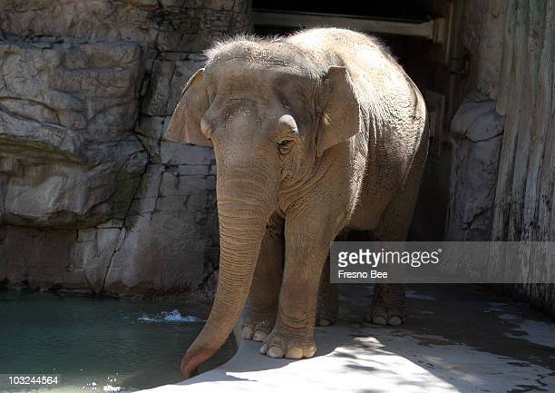 Two Asian elephants at the Fresno Chaffee Zoo produce 300 to 500 pounds of manure a day