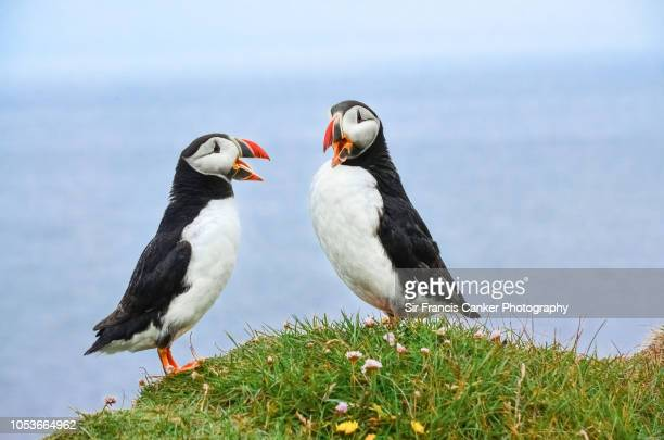 two atlantic puffins dress and behave as tenors in latrabjarg cliffs, westfjords, iceland - animal call stock pictures, royalty-free photos & images