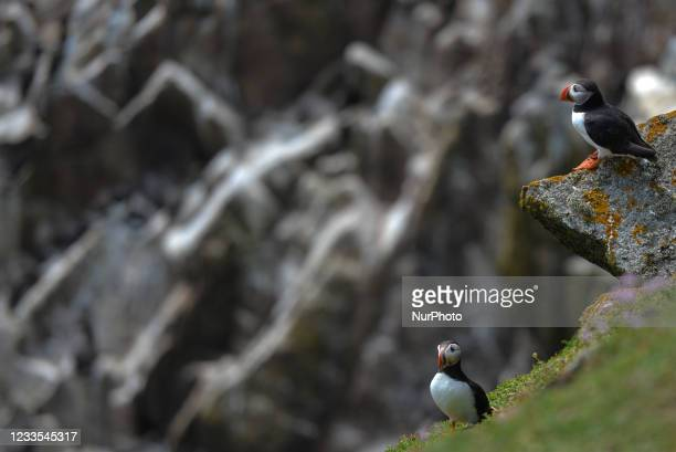 Two Atlantic puffins seen during a breeding season seen during the breeding season on the Great Saltee Island. The Saltee Islands are made up of two...