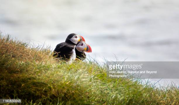 two atlantic puffins together in the grass at grimsey island, iceland - rookery stock pictures, royalty-free photos & images