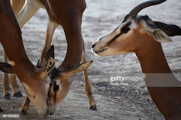 Two babies Dama gazelle pictured with the mother of one of them at Madrid Zoo